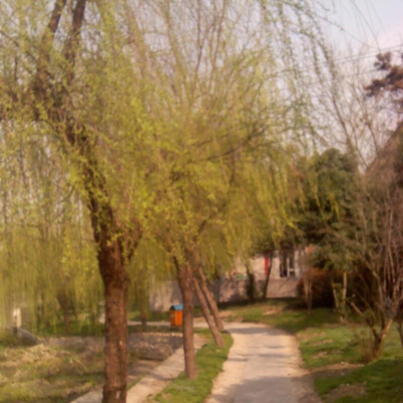 春天来了柳树简笔画_春天柳树燕子的简笔画