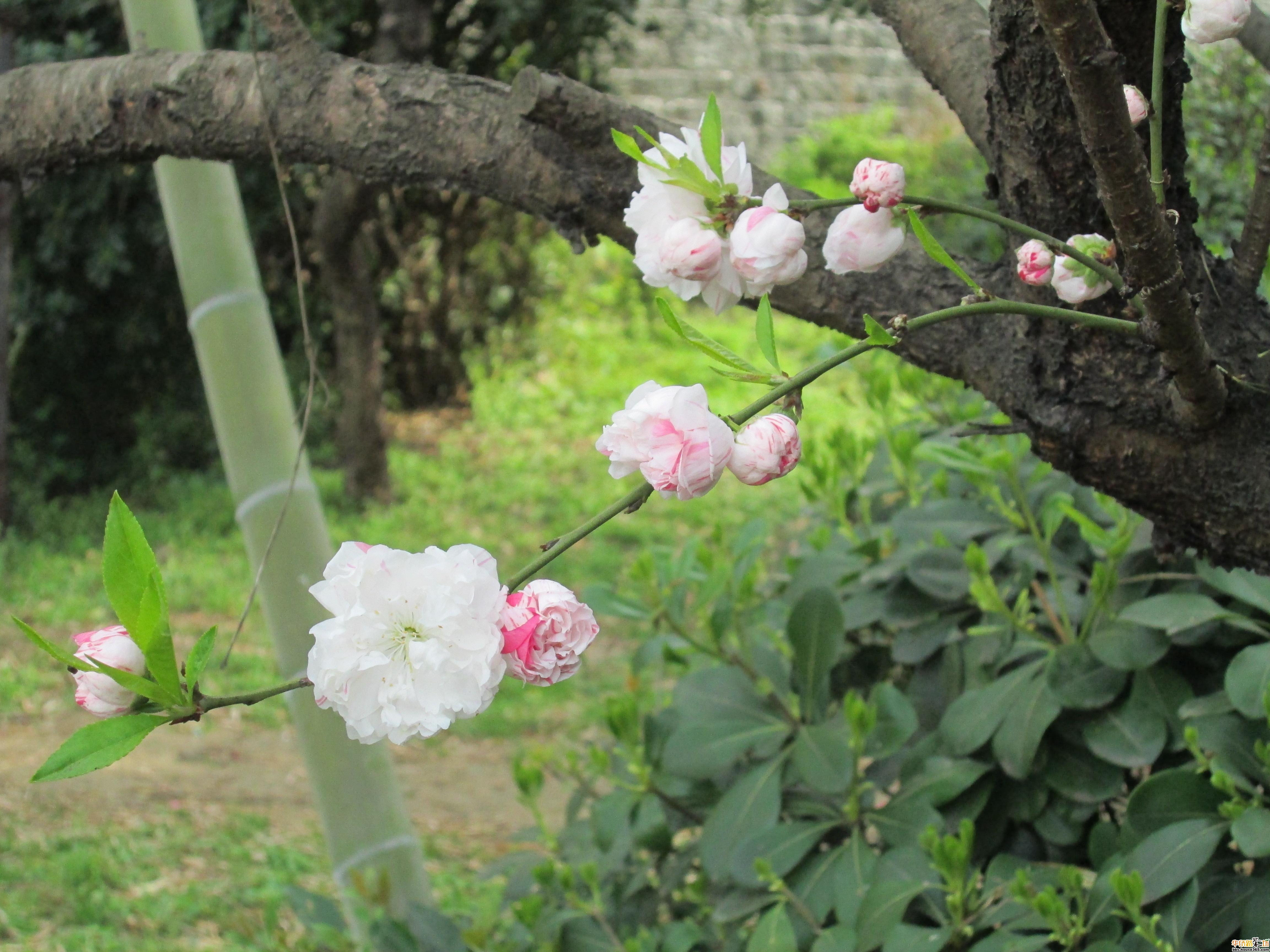 > {寻找春天}小区的竹林,桃花
