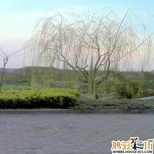 春天到了,花儿红了,河边的柳树发出新牙